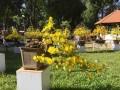 Những cây mai vàng đẹp tại hội hoa xuân tao đàn 2018 phần 1