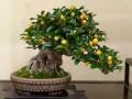 cây Kinzu bonsai