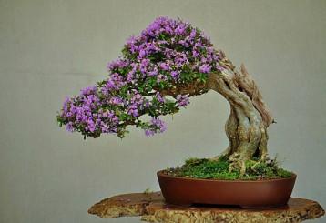 Kỹ thuật làm lão hóa cây cảnh – Phần 2