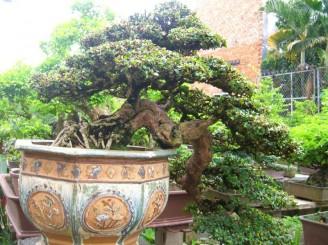 Tìm hiểu cách phân loại Bonsai