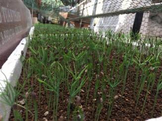Ươm hạt thông đen Nhật Bản trên đất Akadama