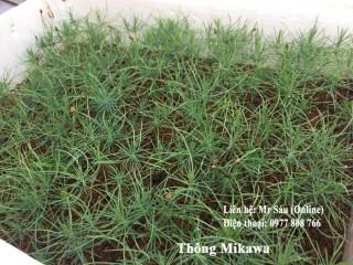 Thông Mikawa
