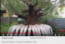Kỹ thuật nuôi dương Bonsai của David Adji - Phần ...