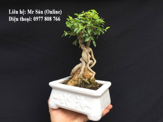 Hồng ngọc mai bonsai văn phòng