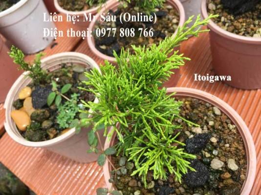 Cây Itoigawa Nhật Bản