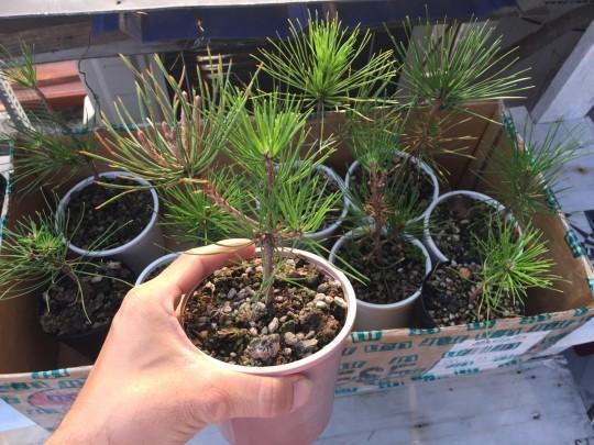 Lô thông đen Nhật Bản 10 cây