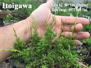 Sự khác nhau của Itoigawa, Kishu, Shimpaku qua hình ảnh