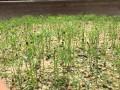 Cây Kim sa tùng bonsai 20, cây cảnh để bàn giúp xua đuổi côn trùng Muỗi