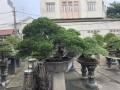 Thăm vườn Bonsai đẳng cấp của Đại Gia Tư ...